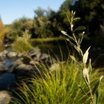 plants on the Pistol River