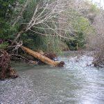 fallen tree at Euchre