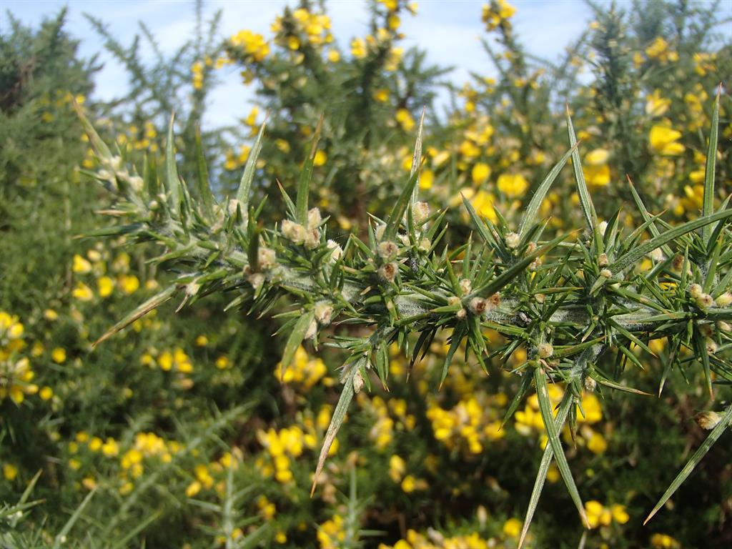 close up image of gorse